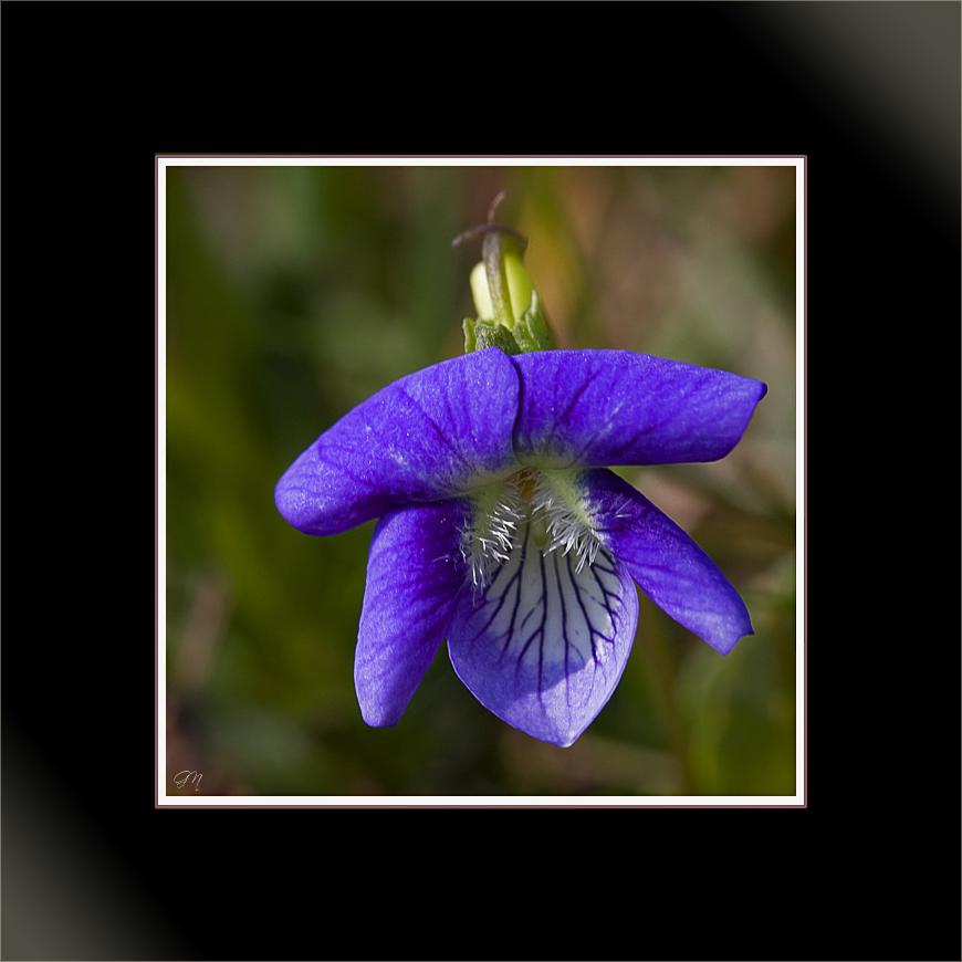 La première violette - Das erste Veilchen