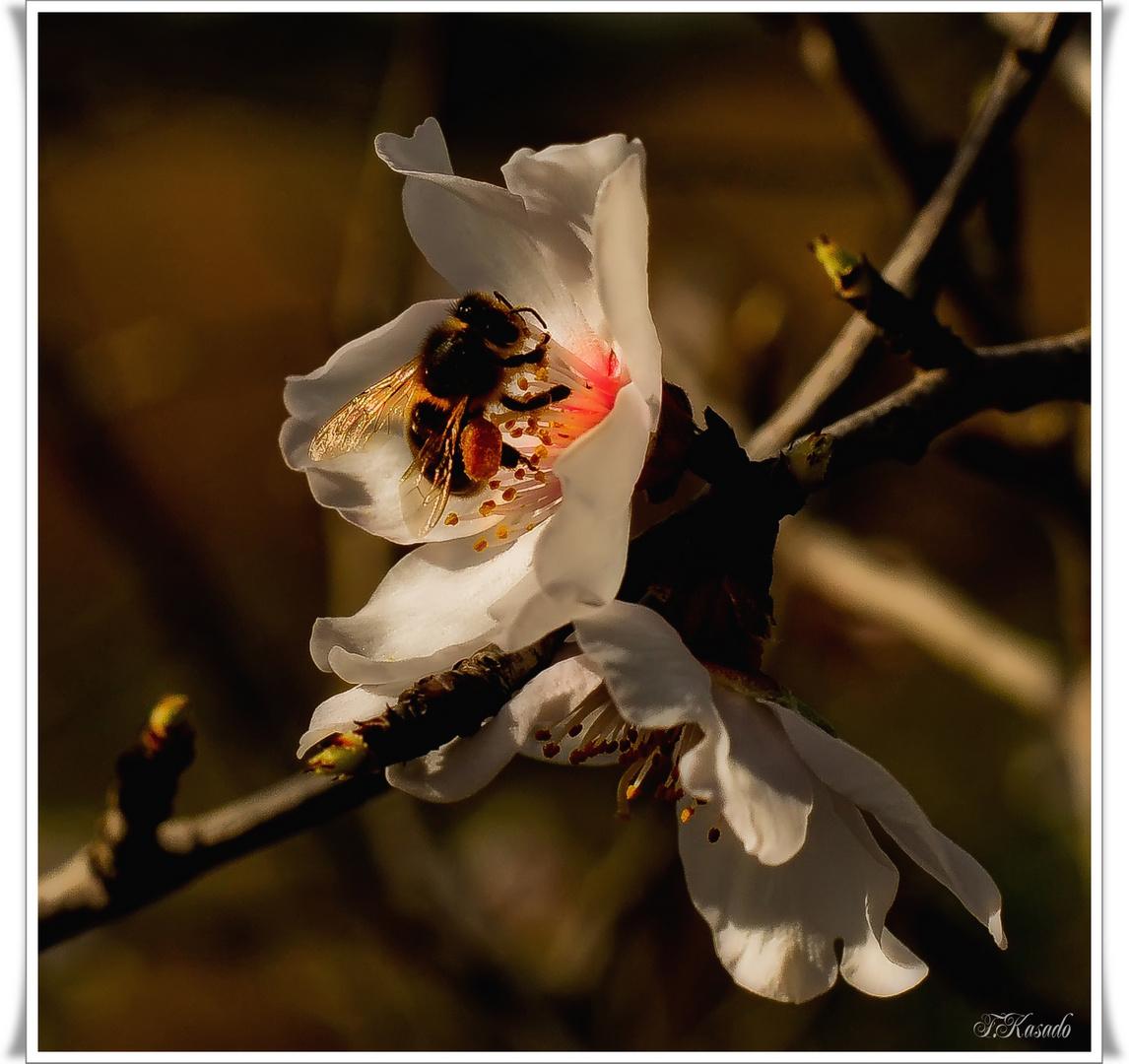La primera abeja ( A Galeon)