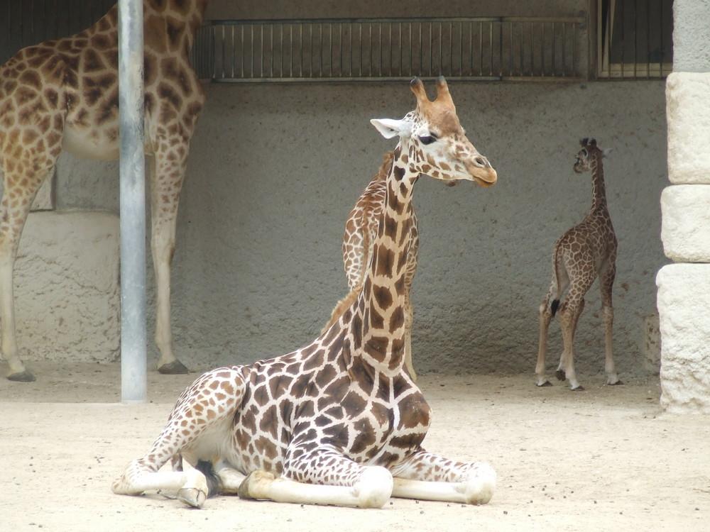 la ptite girafe