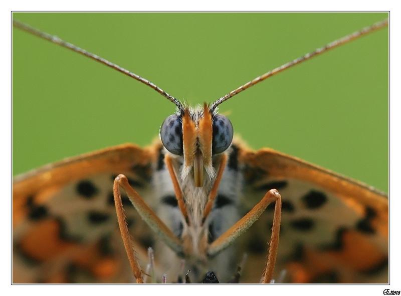 La pudica farfallina
