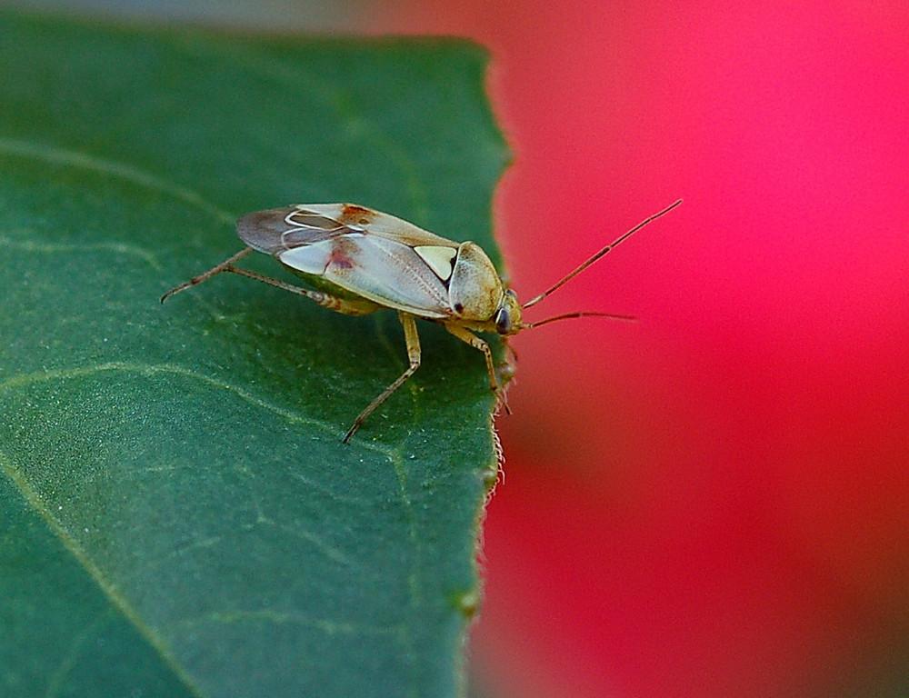 La punaise (1) - Lygus pratensis ( HEMIPTERES )