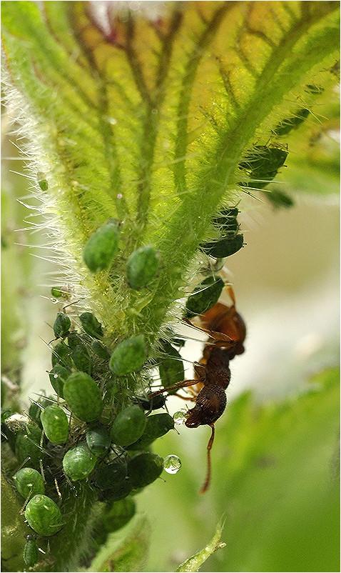 La récolte du miellat