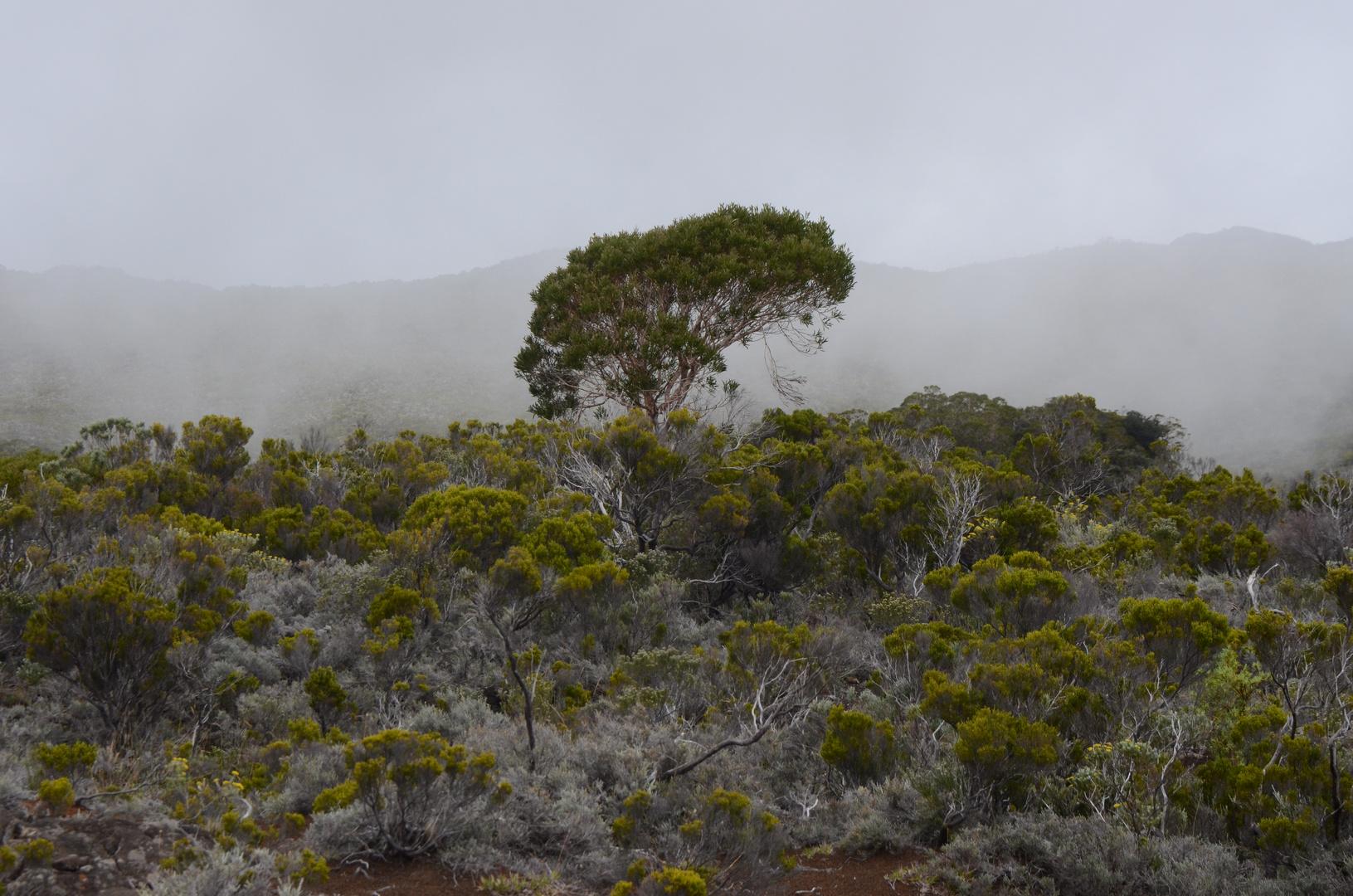 La Réunion - Baum im Hochnebel
