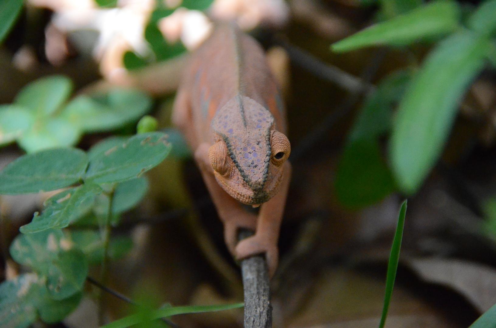 La Réunion : Das Chamäleon
