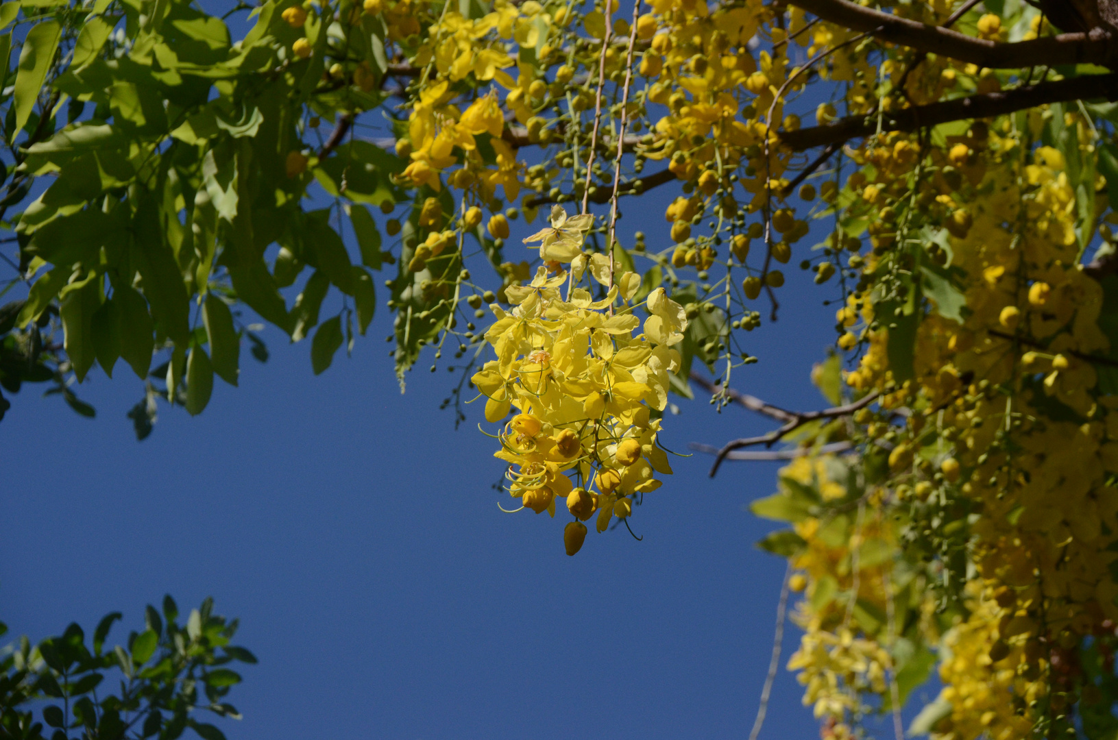 La Réunion : Indischer Goldregen (Cassia fistula) in St. Gilles