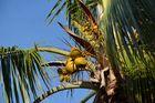 La Réunion : Kokosnüsse in St. Gilles Ermitage