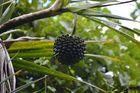 La Réunion : Pimpin-Frucht ( pandanus utilis bory)