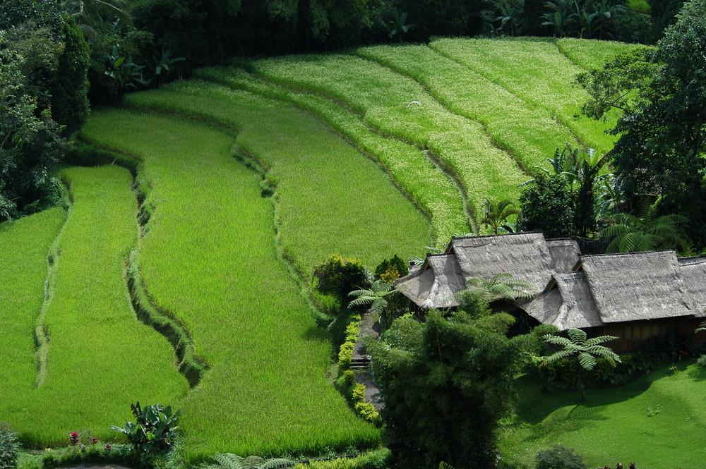 La rizière...