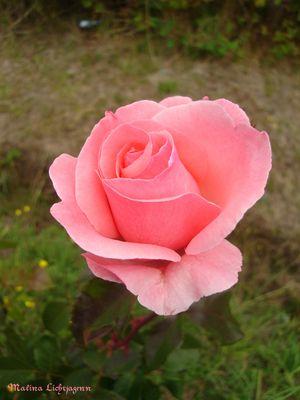 La Rosa Rosada