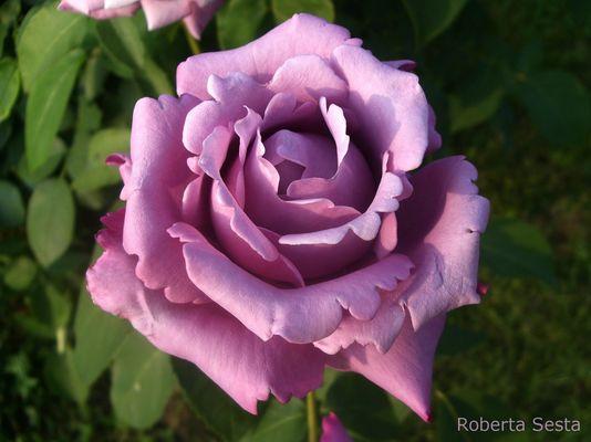 la rosa viola
