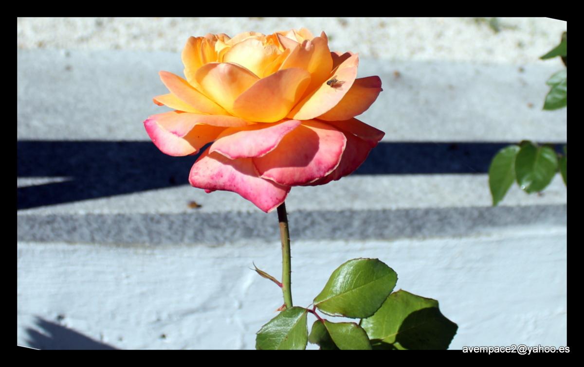 la rosa y la mosca