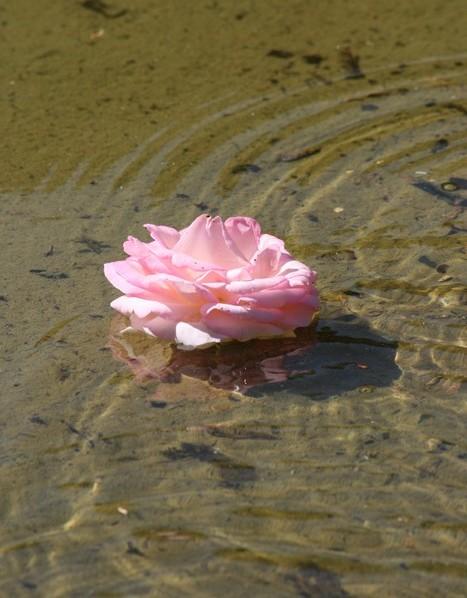 la rose a l'eau