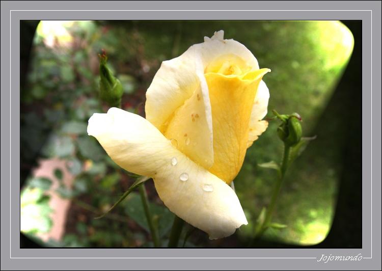 la rose au maillot jaune!