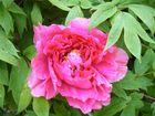 La rose au matin