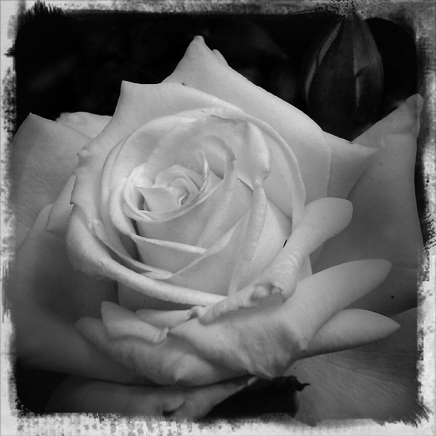 La rose blanc