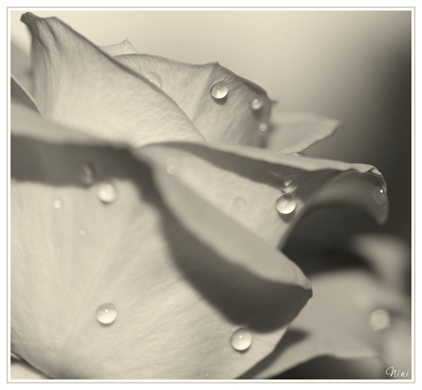 La rose...