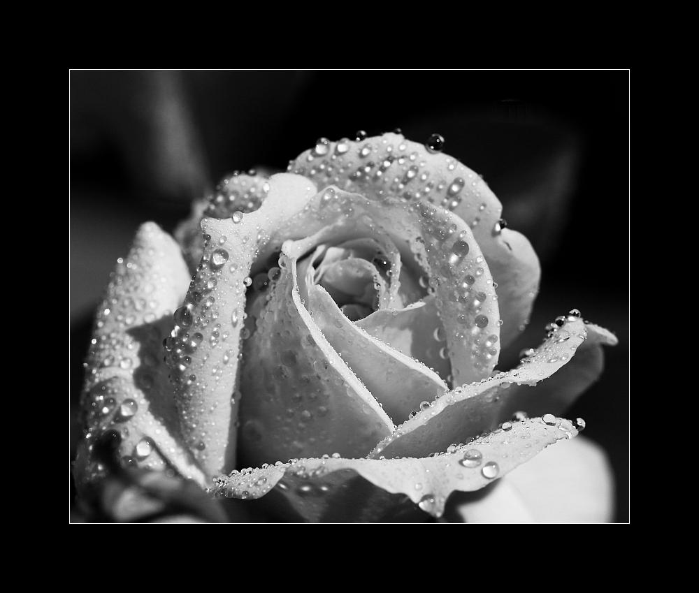 ... la rose de la douleur ...