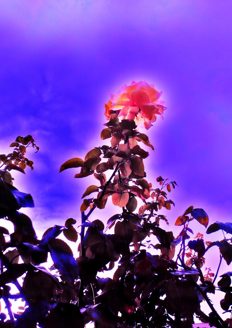 La rose de l'Espoir...