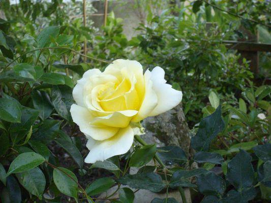 la rose de Maman