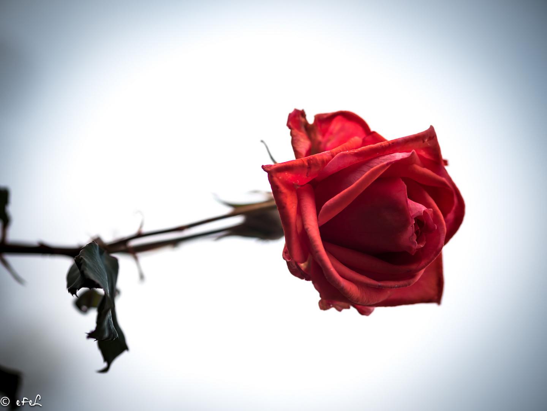 La rose de mi novembre
