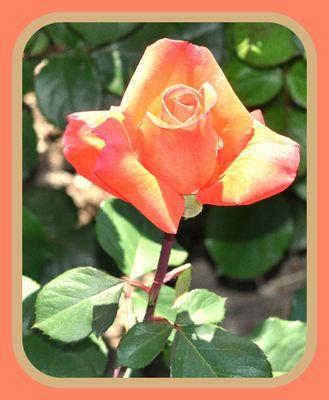 La Rose de St Exupéry