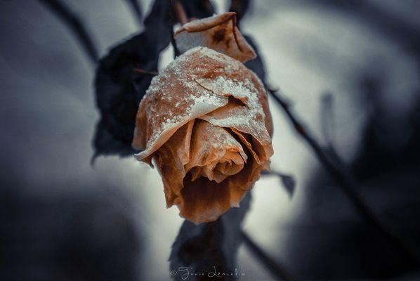 La rose d'hiver
