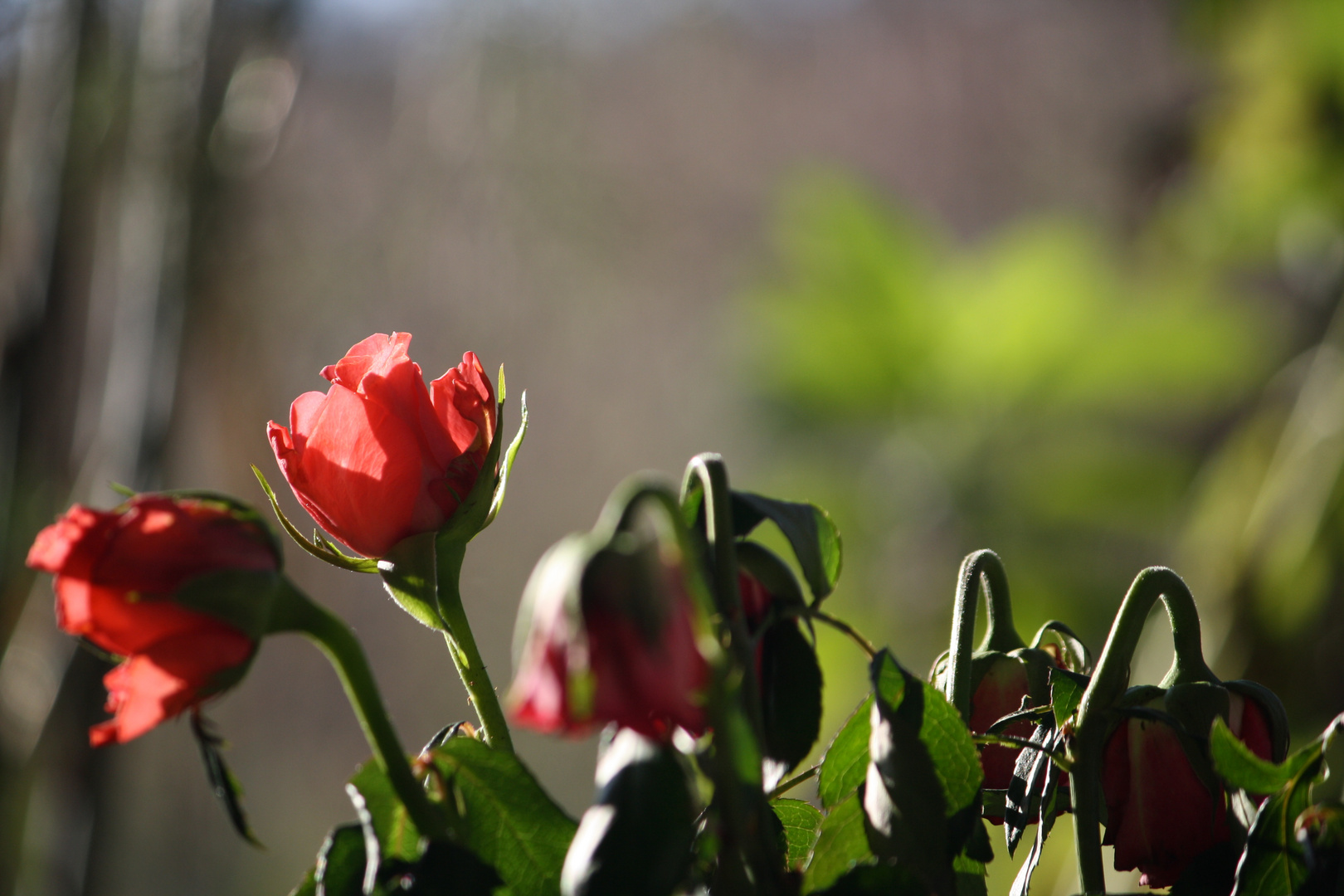 la rose du petit matin
