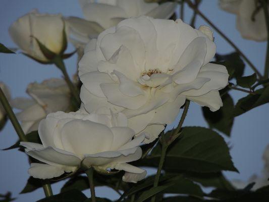 la rose du soir