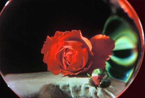 La rose d'un petit Prince...