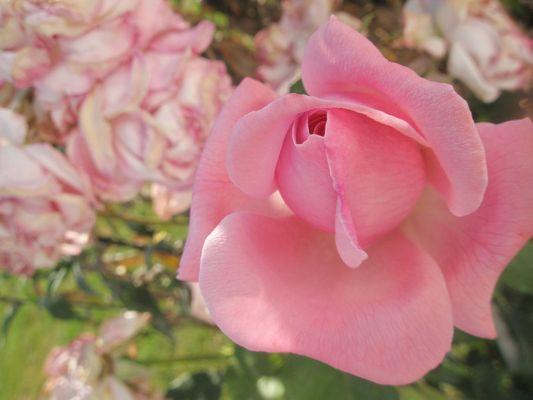 """"""" La rose n'a d'épines que pour celui qui veut la cueillir. """" Proverbe chinois"""