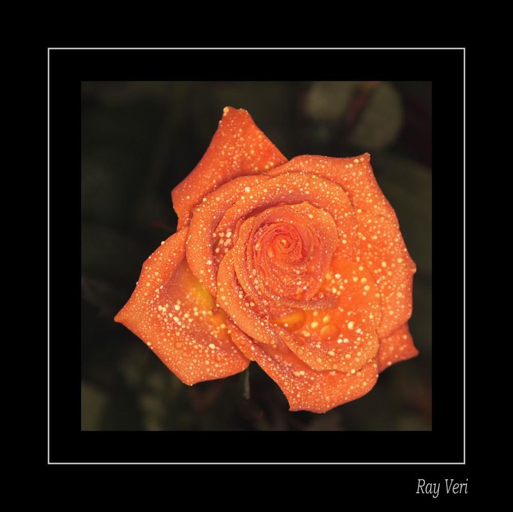 la rose qui pleure