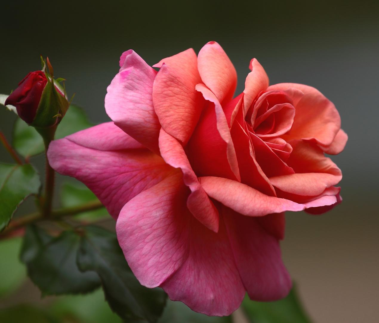la rose rose