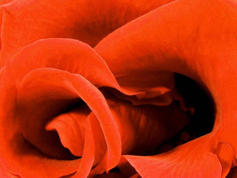 ... la rose rouge Vol. I