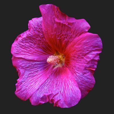 La rose trémière