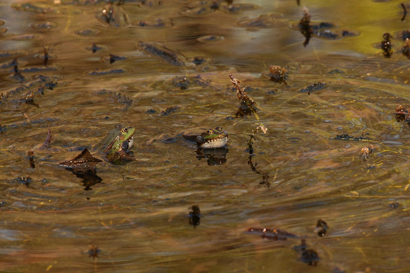 la saga des grenouilles