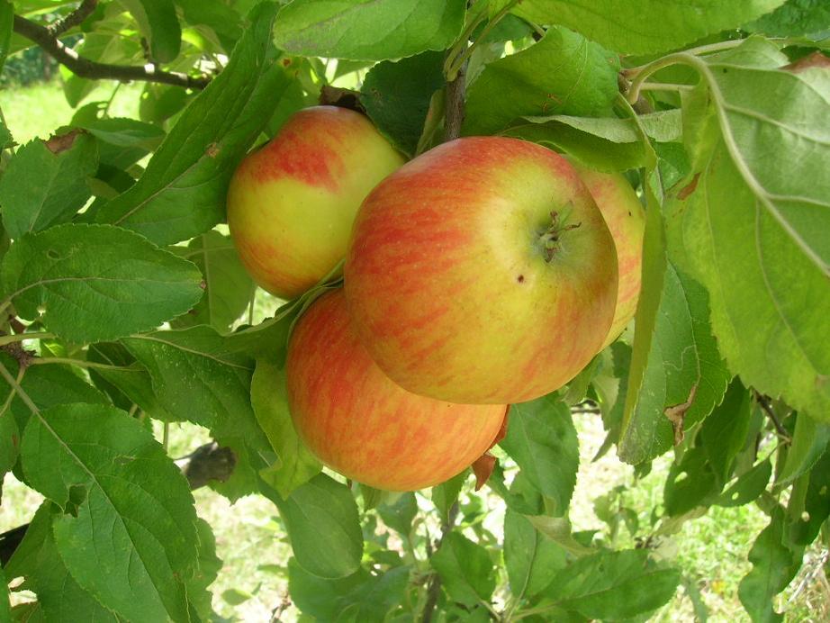 La saison des pommes bat son plein