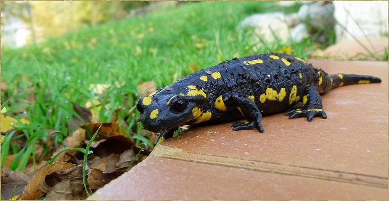 *la salamandre*