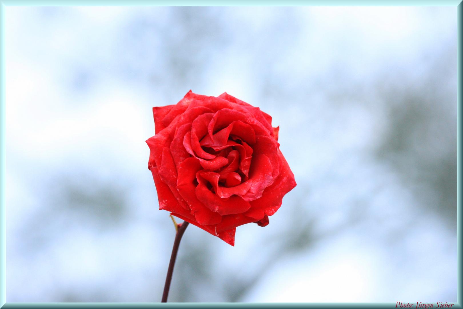 la senteur des roses
