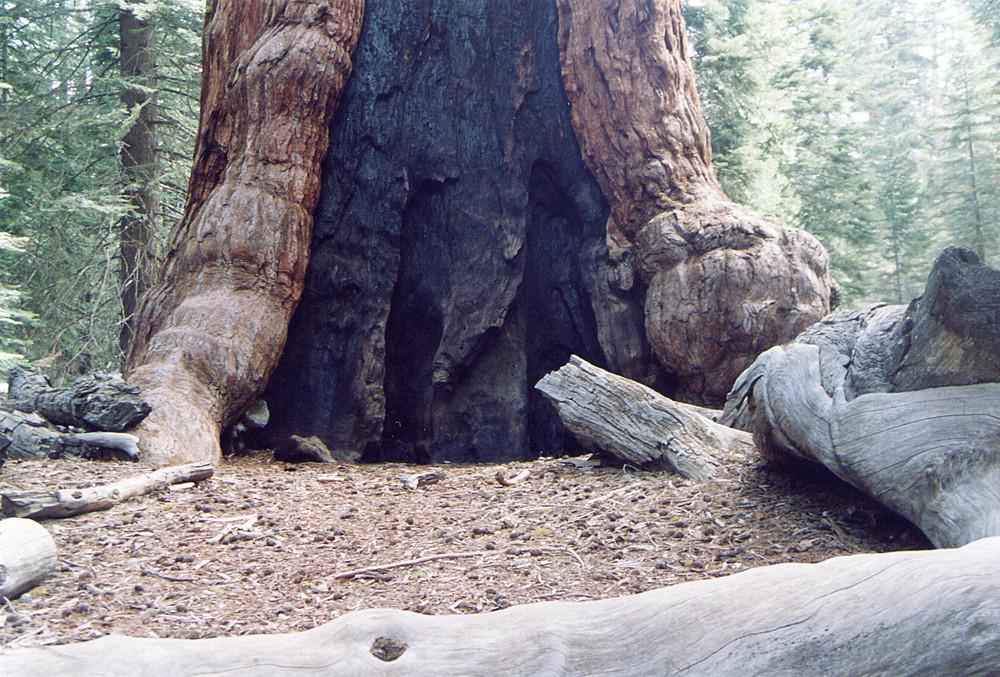 La sequoia più grande del mondo