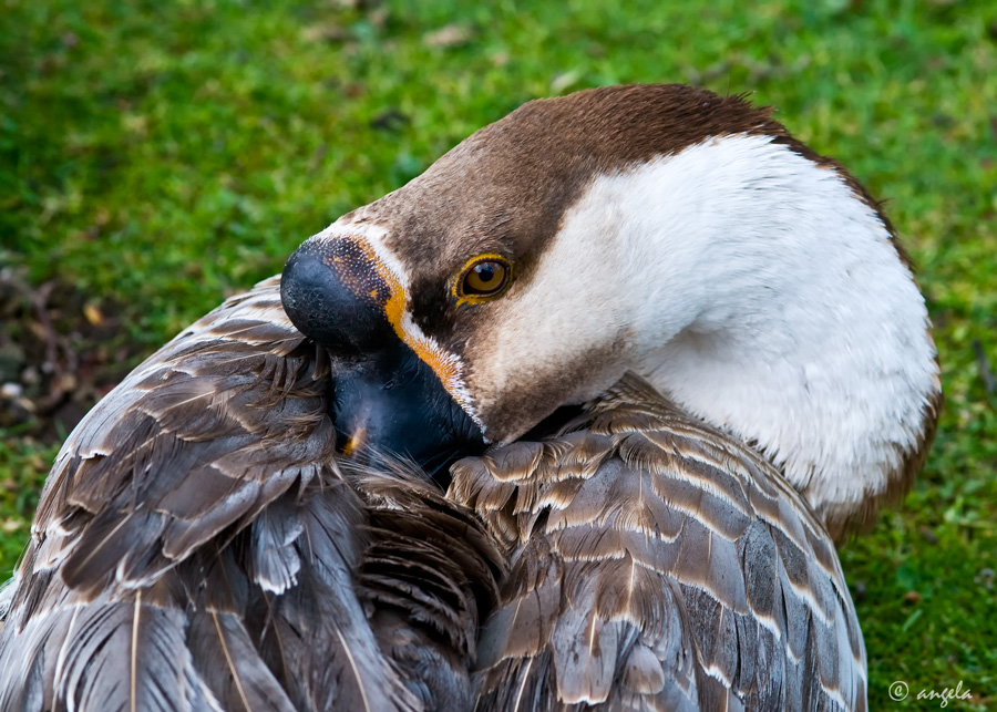 La siesta (ánsar cisne, anser cygnoides)