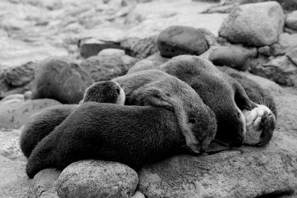 la sieste des loutres