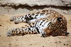 La sieste du Leopard