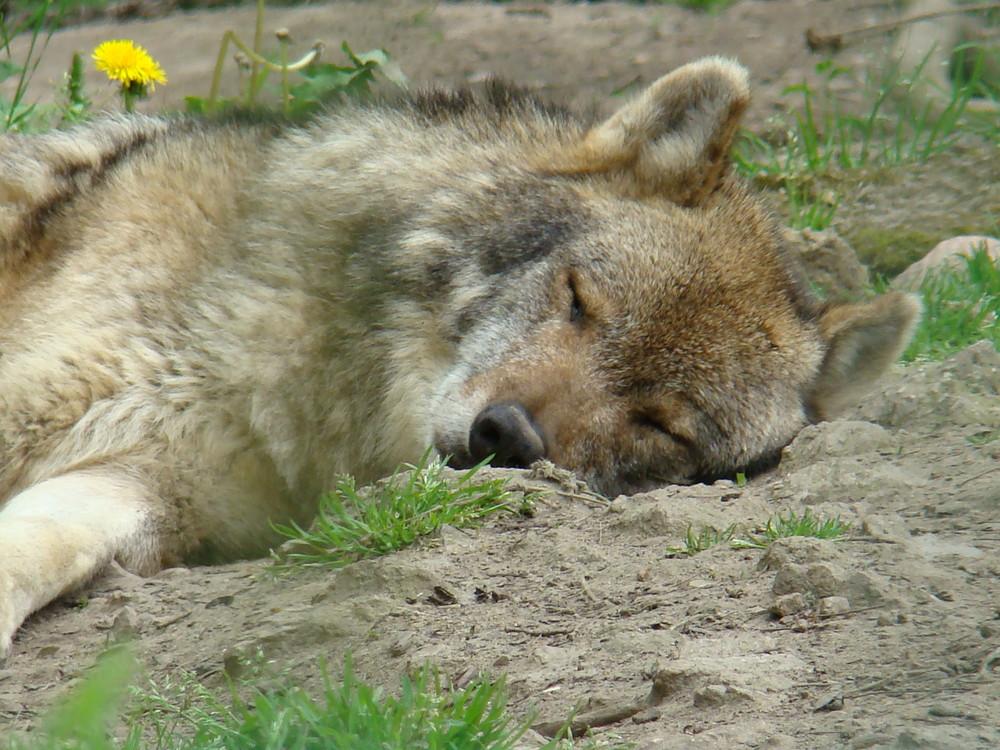 la sieste du loup