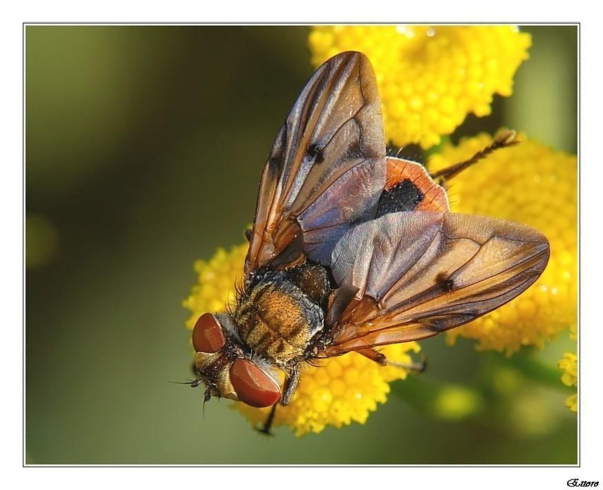La signora mosca