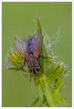La solita....mosca
