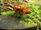 La souche aux champignons
