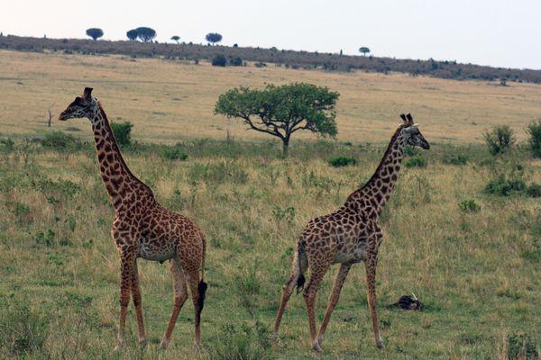 la symétrie giraffe