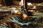 la tigre del bioparco