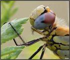 la toilettatura della libellula