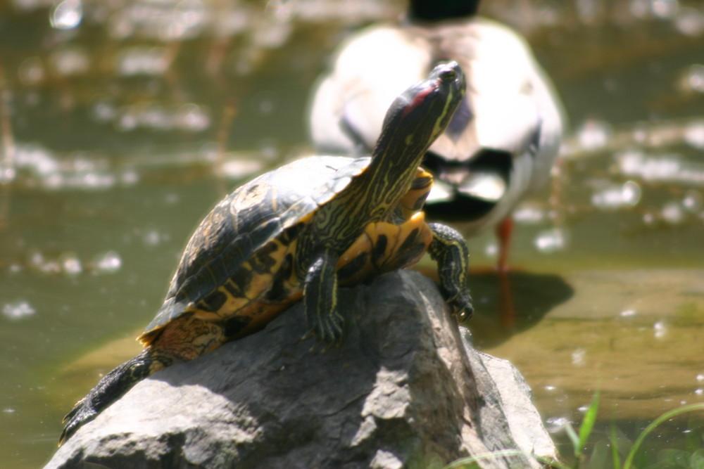 la tortue qui guette